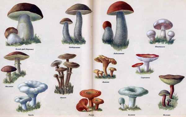 какие грибы полезны для мужской потенции